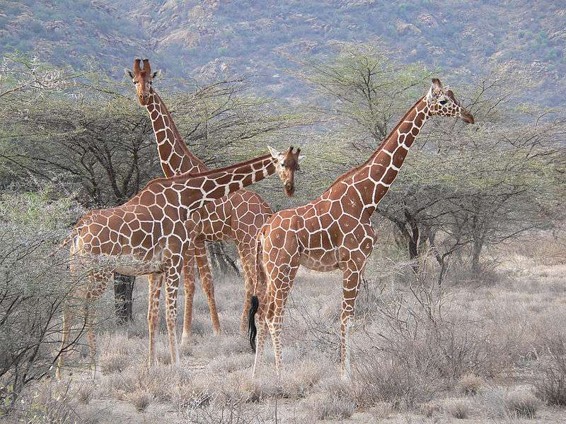 Girafes réticulées dans la réserve de Samburu, au Kenya. © Snakes3yes, Wikipédia, CC by 2.0