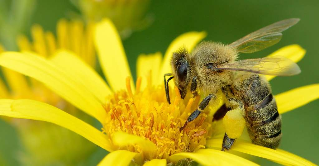 La biodiversité n'est pas une liste d'espèces indépendantes, elle est un ensemble vivant. (ici, Apis melifera, une abeille à miel). © Ivar Leidus, Wikimedia commons, CC by-sa 4.0