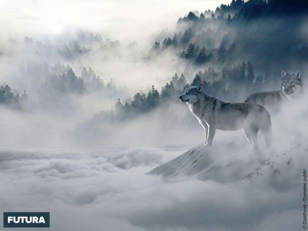 Dans les brumes de l'hiver, les loups observent