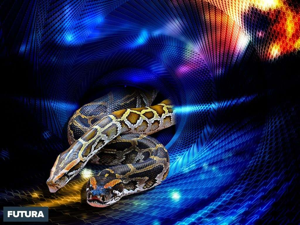 Python birman, un des plus grands serpents du monde
