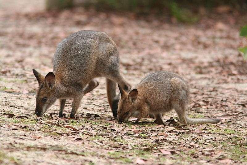 Wallaby de Bennett et son jeune. © Glen Fergus, Wikipédia, cc by sa 2.5