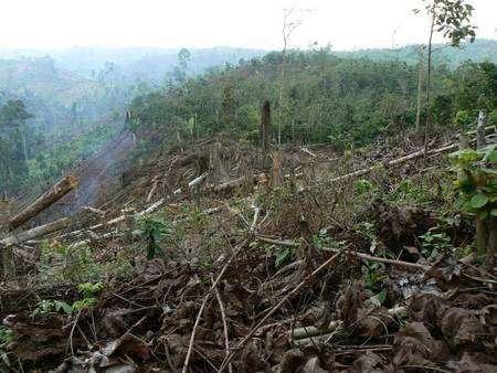 A l'intérieur même du Parc national Bukit Barisan Selatan, en Indonésie, la forêt naturelle, en 2006, laisse place à une plantation de café... © IRD / Hubert de Foresta