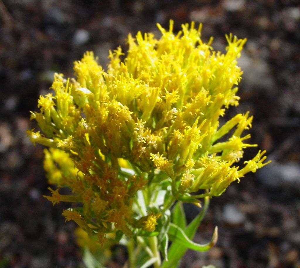 Chrysothamnus viscidiflorus, rabbitbrush en anglais, pousse en Amérique. Les fourmis l'apprécient. © Domaine public