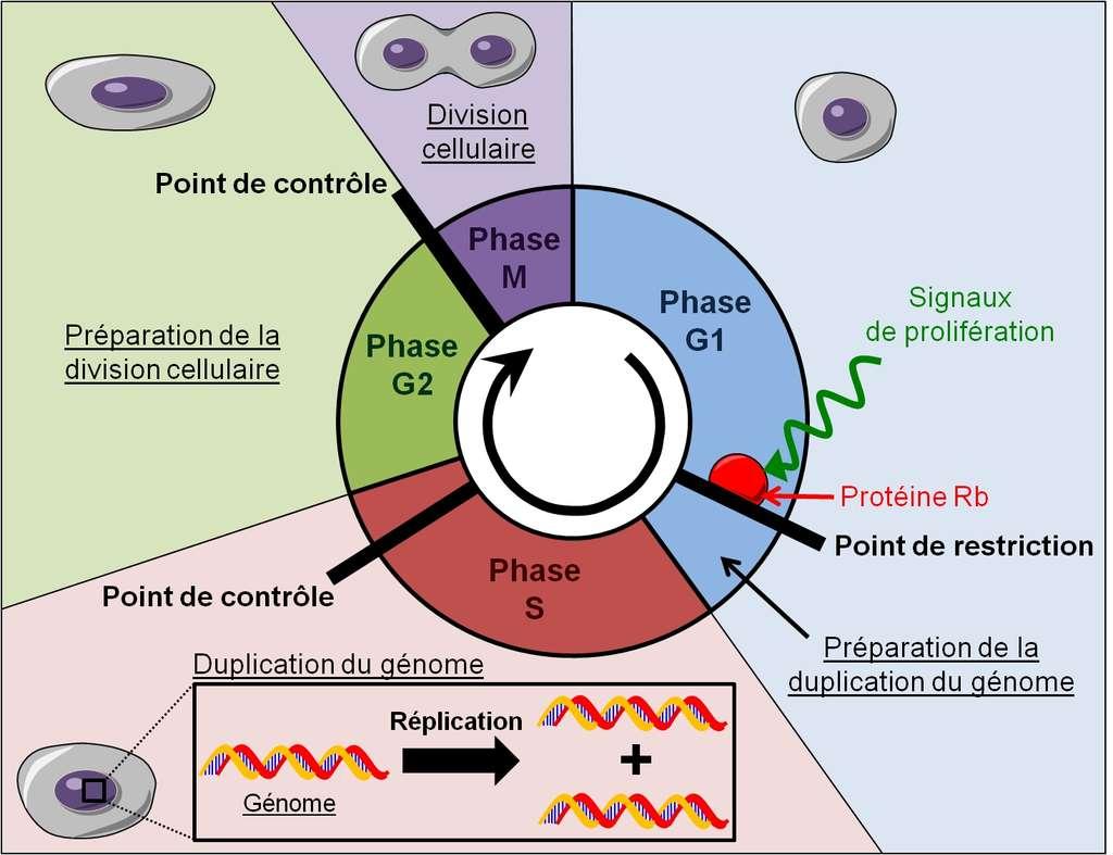 Figure 9. Le cycle cellulaire. Durant la phase G1, les signaux de prolifération désactivent la protéine Rb ce qui permet de lever le point de restriction du cycle cellulaire. La cellule entre en phase S où elle duplique son génome. Ensuite elle entre en phase G2 où elle se prépare à se diviser et enfin elle termine son cycle cellulaire par la phase M qui correspond à la division cellulaire. © Grégory Ségala