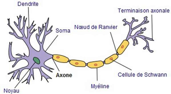 Composition d'un neurone type. © Selket, Wikimedia CC by-sa 3.0