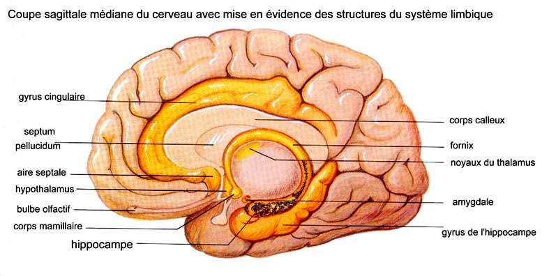 Sur cette coupe schématique du cerveau, l'hippocampe est bien visible. © Institut français de l'éducation