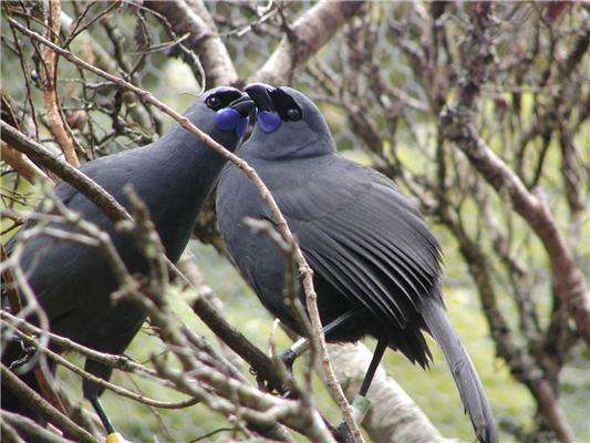 Deux glaucopes cendrés de l'île du Nord, en Nouvelle-Zélande. Ils se distinguent de ceux de l'île du Sud par leurs bajoues bleues. Cette espèce est menacée, tandis que celle de l'île du Sud est officiellement éteinte. © Sarah King, New Zealand Department of Conservation