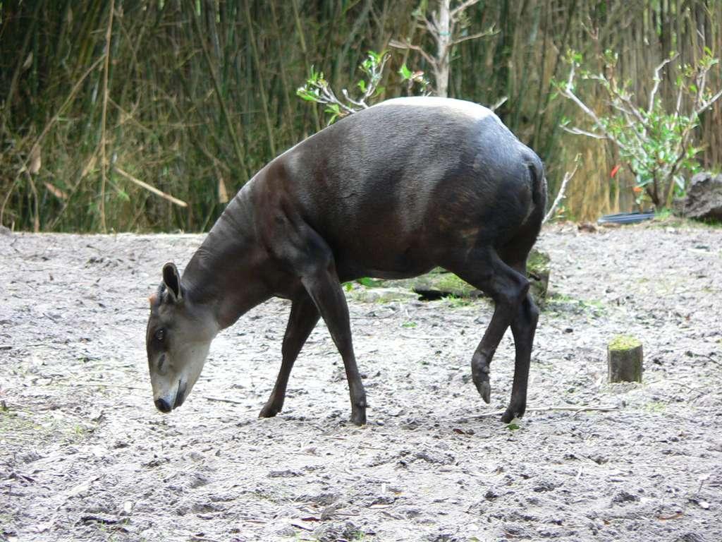 Antilopes africaines, les céphalophes sont de petites tailles et vivent surtout dans les forêts, comme cette Cephalophus silvicultor. Leurs populations ont beaucoup diminué ces dernières décennies. © Raul654, CC BY NC-SA 3.0