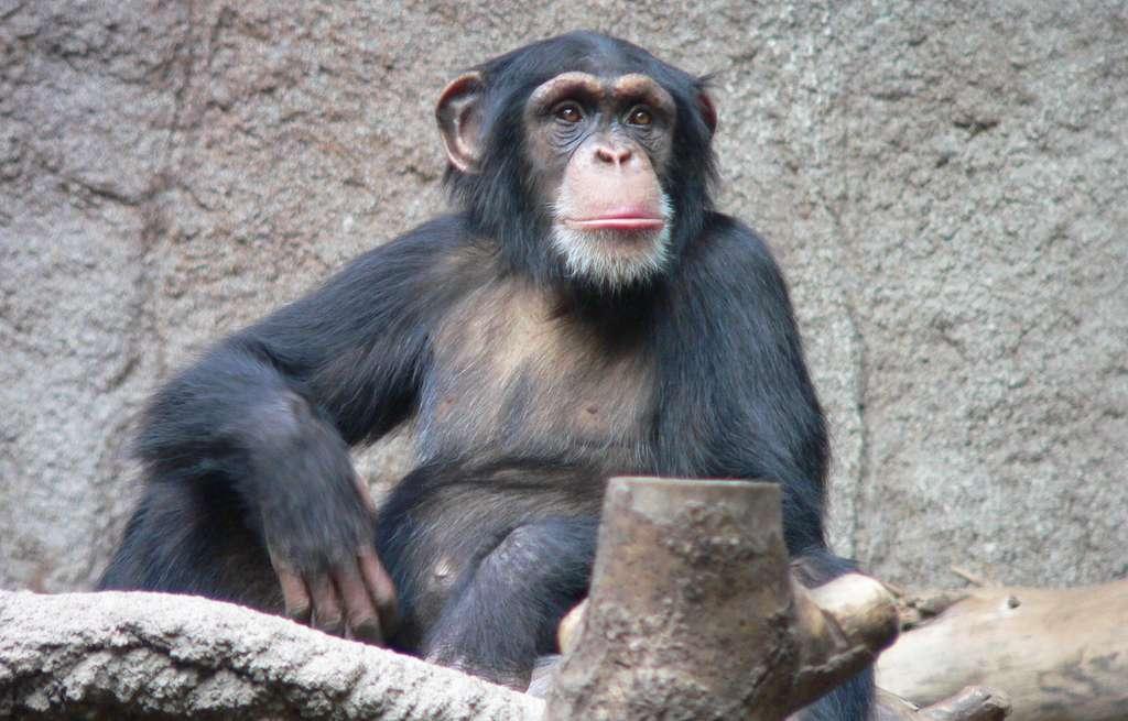 La mésange et le chimpanzé ont un point commun : ils savent maîtriser leurs impulsions. © Thomas Lersch, Wikipedia, CC by-2.5