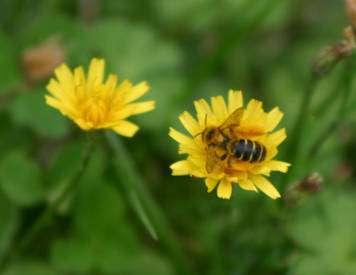 Un liondent butiné par une abeille. © Sylvie Nomblot, DR