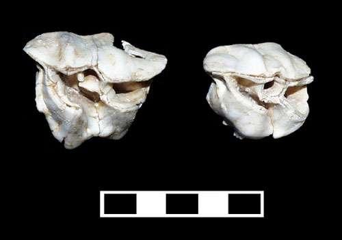 Photo 30 : Dents de rhinocéros laineux. © François Marchal Reproduction et utilisation interdites