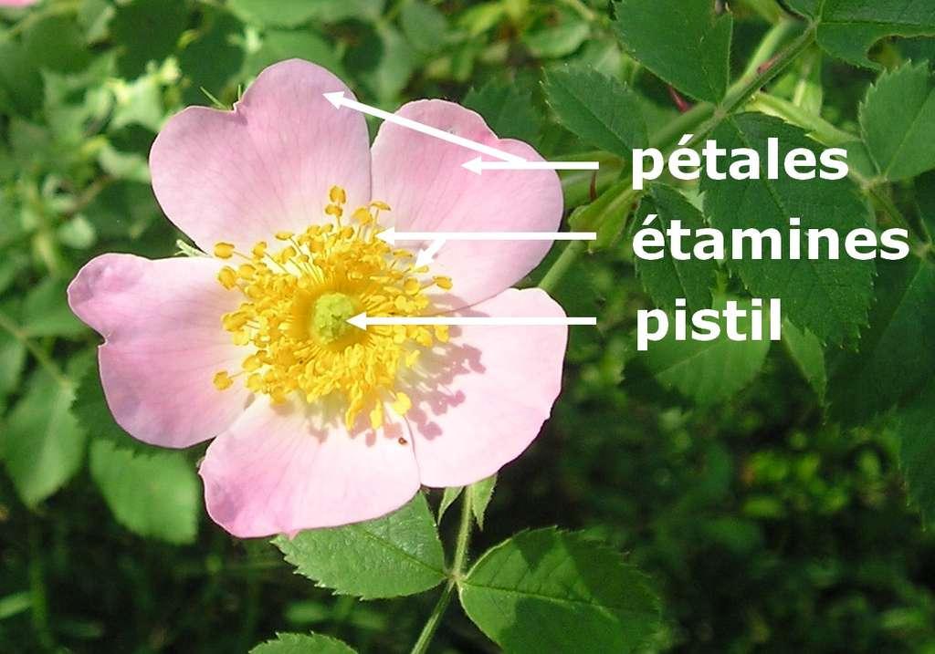 Ici, l'anatomie d'une fleur de rose sauvage (rosa canina) faisant apparaître le pistil. © Fraf, Wikipedia, GFDL