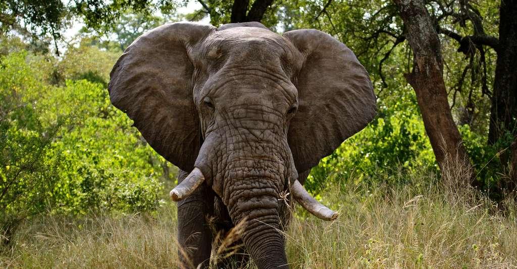 Éléphant dans le Park National Kruger, Afrique du Sud. © Kate Higgs, Shutterstock