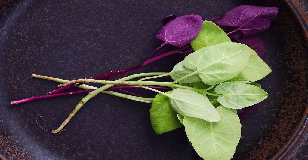 Ces feuilles d'arroche peuvent se déguster en salade. © Tim08, Shutterstock