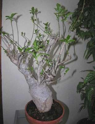Baobab sous forme de bonsaï âgé de 30 ans. © S. Garnaud - Reproduction et utilisation interdites