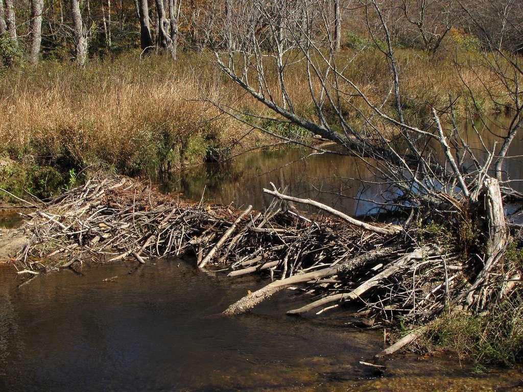"""Le plus grand barrage de castors a été découvert en 2010 grâce à Google Earth (58°16'14.29""""N 112°15'08.73""""W). Il se trouve dans le Parc national Wood Buffalo, dans l'Alberta, au Canada, et fait 850 m de long. © BlueRidgeKitties, Flickr, cc by nc sa 2.0"""