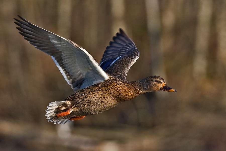 Canard colvert femelle