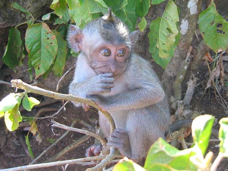 Le macaque crabier, utilisé en recherche médicale, est sensible à l'infection par les virus Ebola et Marburg. Crédits DR