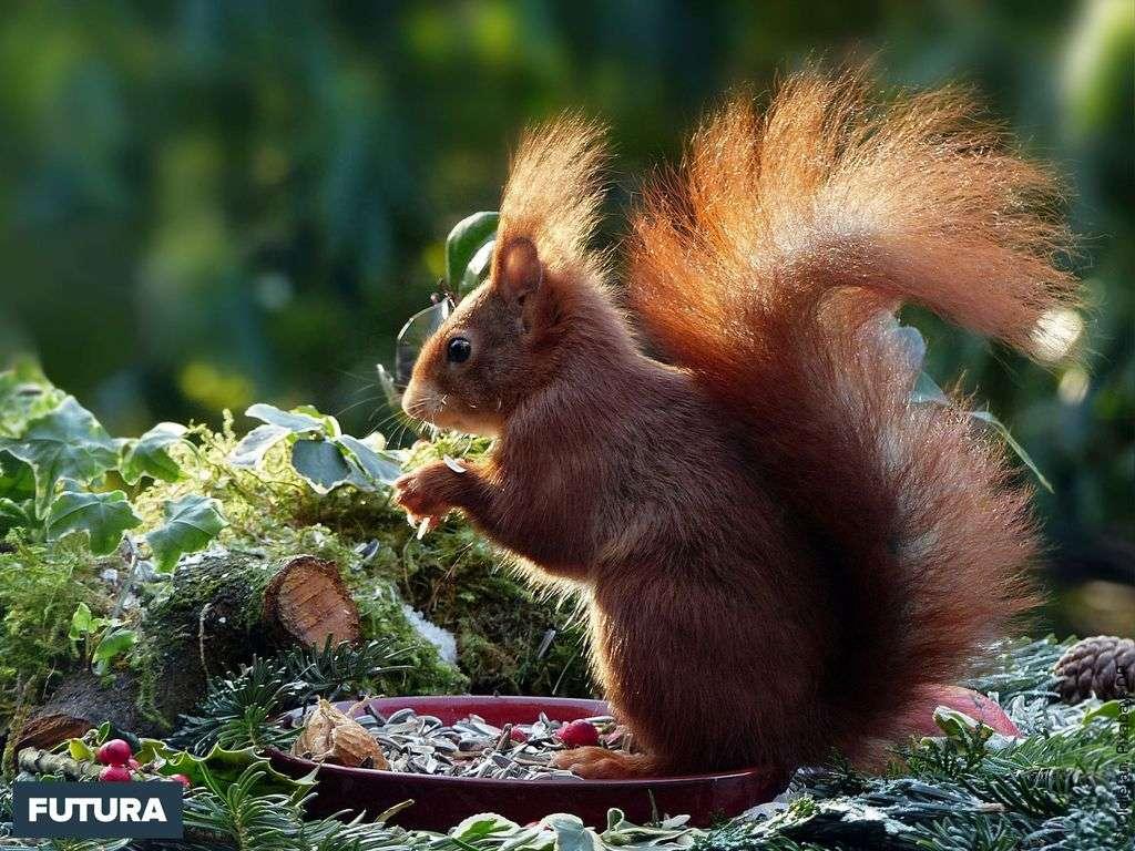 Écureuil roux, très agile adore un mélange de noisettes, noix, graines de tournesols