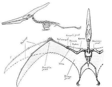 Morphologie d'un ptérosaure (un ptéranodon). Source Commons
