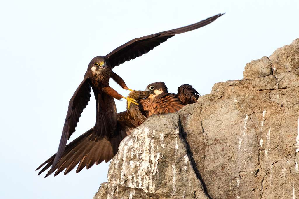 Le cadeau d'un faucon d'Éléonore à un autre. © Alberto Fantoni, Wildlife Photographer of the Year 2020