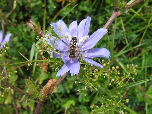 La larve qui a donné cette syrphe adulte (Diptère) était prédatrice de pucerons (Homoptères). © Photo A. Fraval/INRA..- Toute reproduction et exploitation interdites