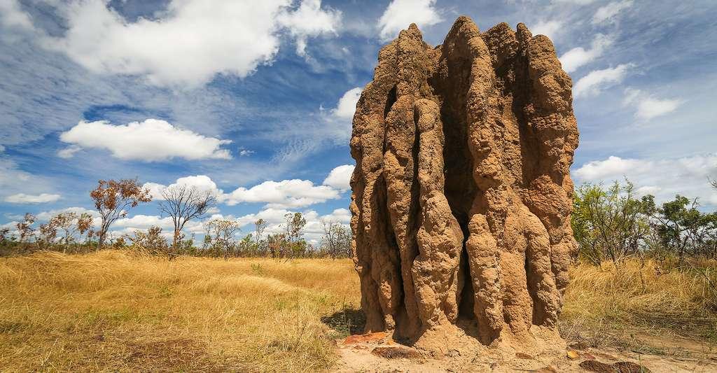 Notre langage est un peu à l'image d'un nid de termites (Nasutitermes triodae), ici photographié en Australie : il s'agit du résultat auto-organisé de l'interaction entre plusieurs individus. Voilà pourquoi les systèmes artificiels, notamment ceux des robots, peuvent nous apprendre de nombreuses choses sur l'origine du langage. © Piotr Gatlik, Shutterstock