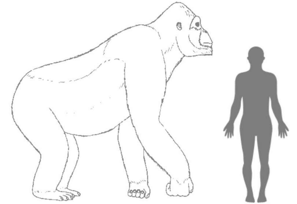 Comparaison schématique entre la taille du gigantopithèque et celle d'un humain. L'aspect de l'animal, en revanche, n'est pas connu. On sait seulement que les dents et les quelques os retrouvés le rapprochent des orangs-outangs. © Hervé Bocherens