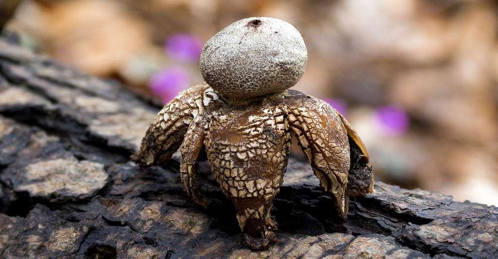 Geastrum fornicatum est un curieux champignon globuleux. © Aydngvn, Shutterstock