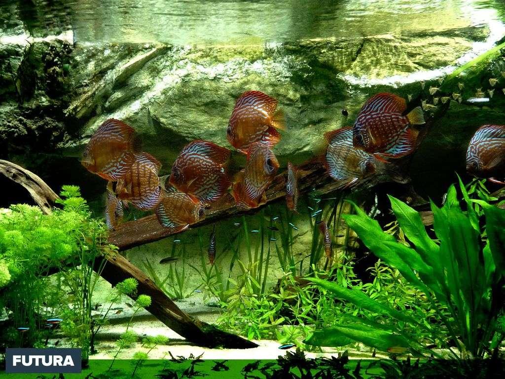 Fond D Ecran Discus Symphysodon Aequifasciatus