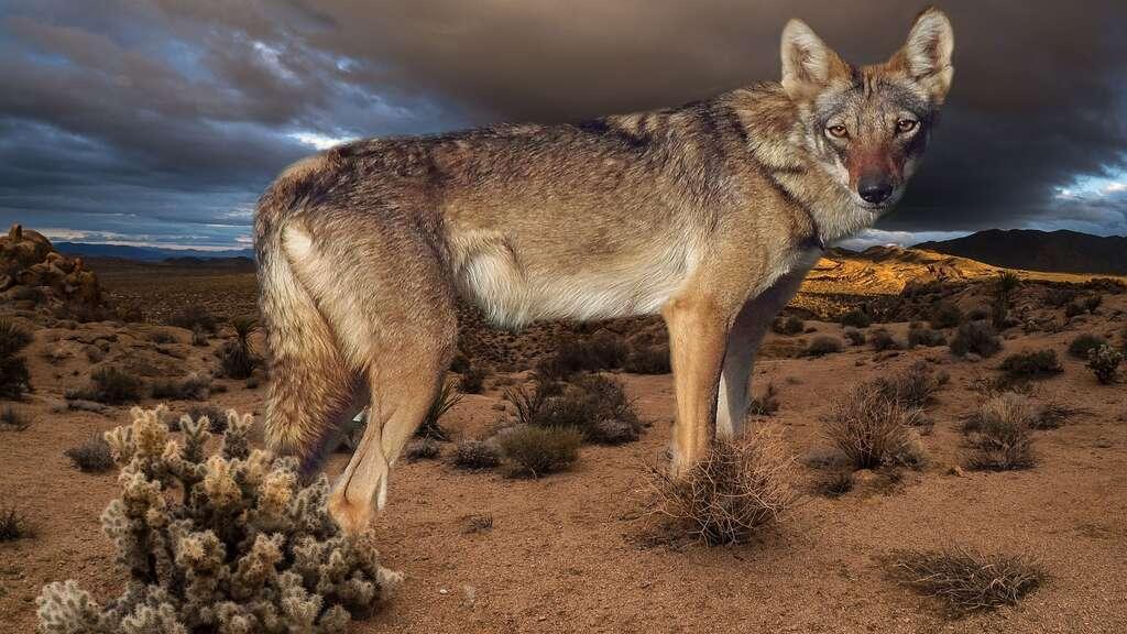 Le loup d'Arabie, taillé pour le désert