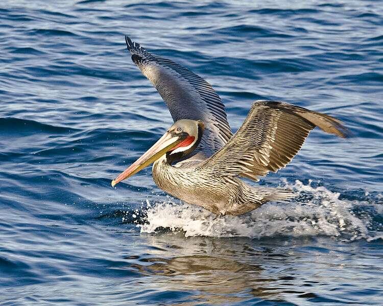 Pélican brun se posant sur l'eau. © Mike Baird, CC by 2.0