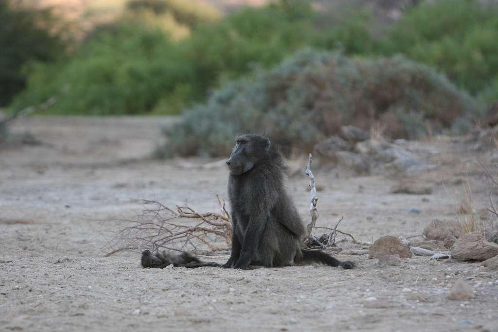 Un mâle babouin monte la garde à côté du corps sans vie d'un enfant, tandis que sa mère est partie se nourrir. © Alecia Carter, « Baboon thanatology: responses of filial and non-filial group members to infants' corpses », Royal Society Open Science