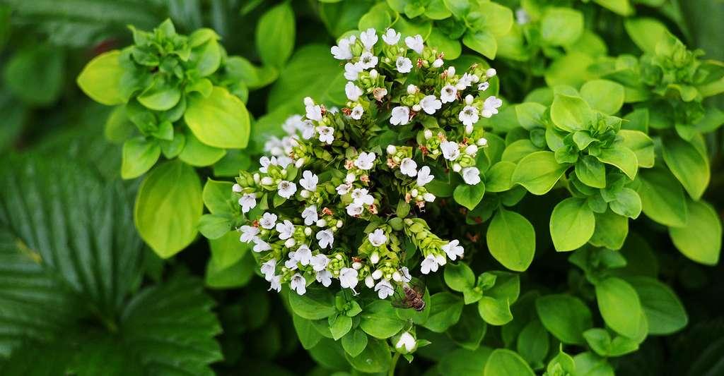 La marjolaine est une plante idéale pour la cuisine. © Anna Gratys, Shutterstock