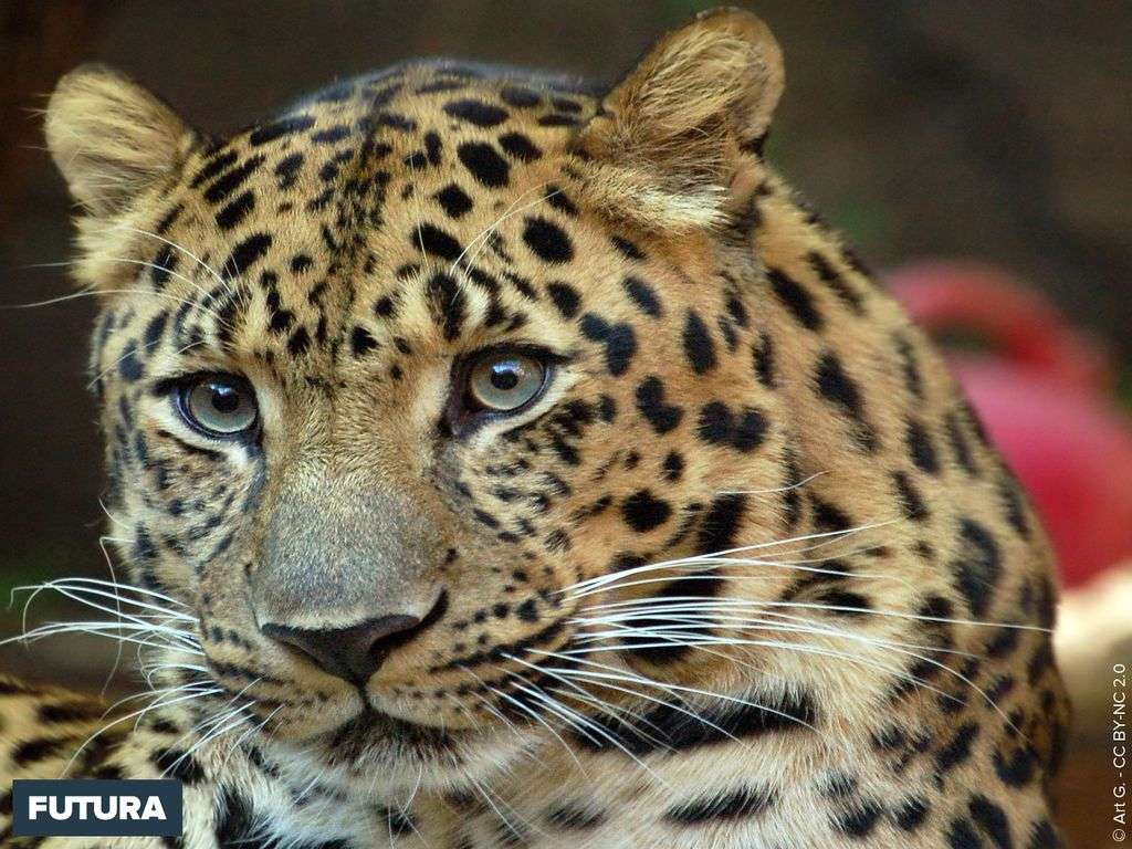 Léopard de l'amour Pantheras pardus orientalis