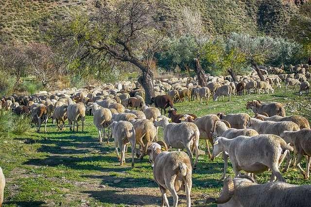 Troupeaux de moutons. © Enriquelopezgarre, Pixabay, DP