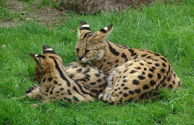 Serval et juvénile. © Vassil, domaine public