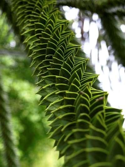 Le tronc écailleux de l'araucaria du Chili. © Scott Zona, Flickr CC by 2.0