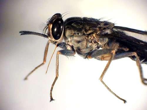Mouche Tsé-tsé. Cette mouche, ou glossine, dotée d'une trompe piqueuse, transmet à l'homme ou à l'animal, en Afrique sub-saharienne, des agents pathogènes appelés trypanosomes. Elle est le vecteur de la maladie du sommeil. © Dukhan, Michel - IRD