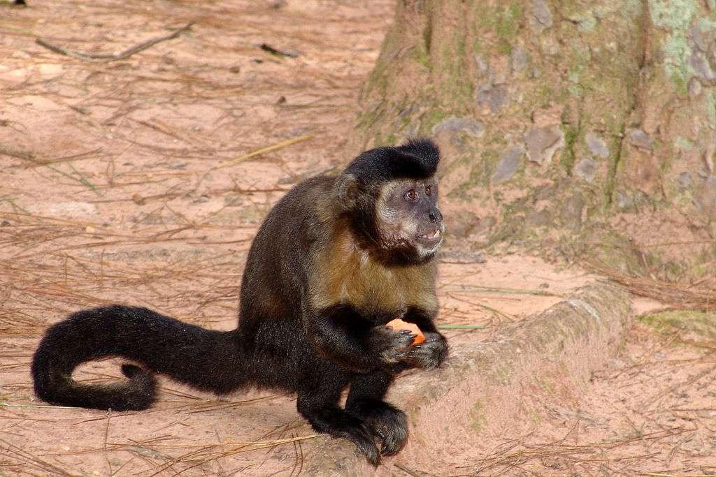 Le capucin à houppe noire vit en Amérique du Sud et principalement au Brésil. Il est connu pour son caractère sociable et son intelligence. Il utilise quotidiennement des outils pour casser les coques des noix. Il jette, secoue et transporte divers aliments et objets. © José Reynaldo da Fonseca, cc by sa 3.0