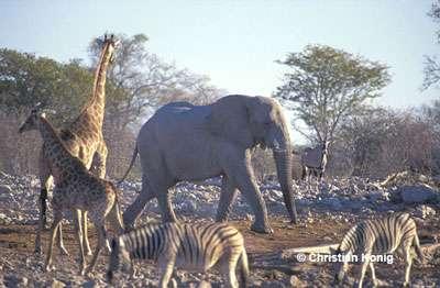 Cohabitation au point d'eau, Namibie