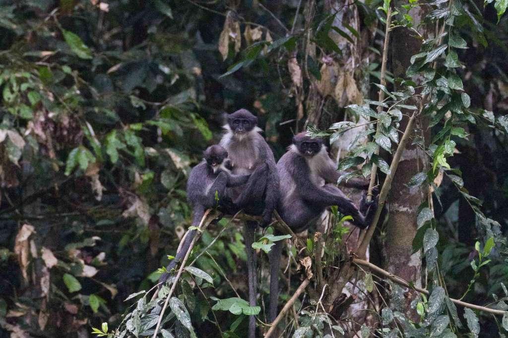 Des primates de la sous-espèce Presbytis hosei canicrus dans la forêt de Wehea. © Eric Fell