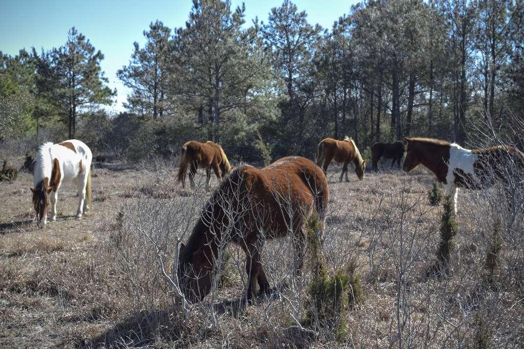 Des chevaux vivent en liberté sur Assateague. © James, Fotolia