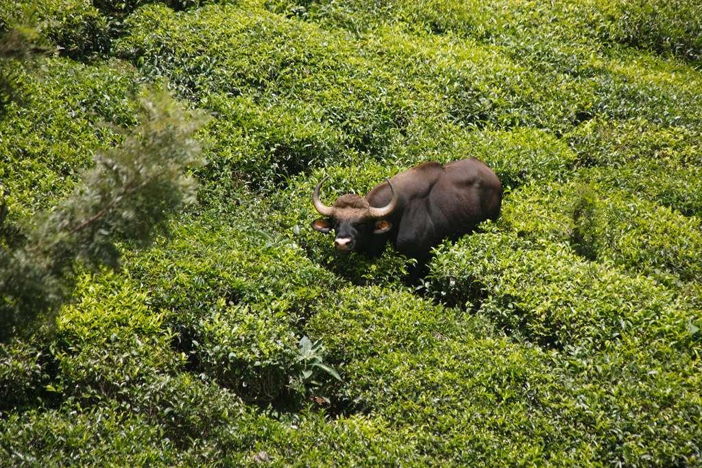 Buffle dans une plantation de thé