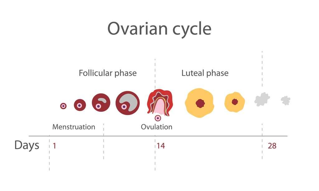 La phase folliculaire correspond à la croissance d'un ovocyte jusqu'à l'ovulation et la phase lutéale se situe après l'ovulation. © ptahai, Adobe Stock