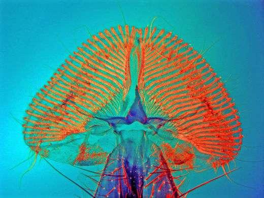 La trompe ou proboscis de la mouche Calliphoridae
