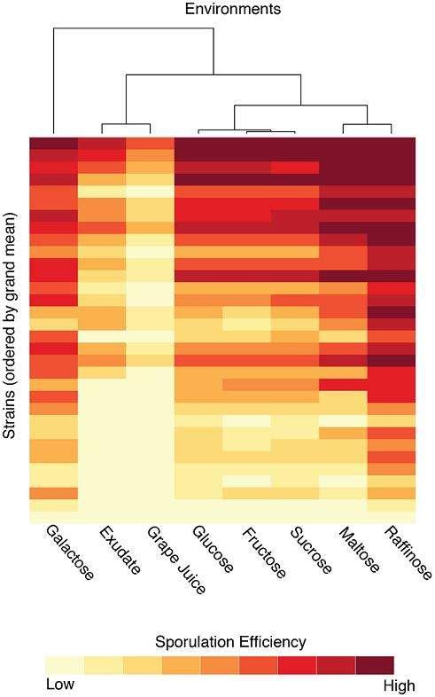 L'efficacité de sporulation (croissante du jaune au rouge) des 32 souches varie en fonction du type de sucre ajouté au milieu de culture. © Plos genetics