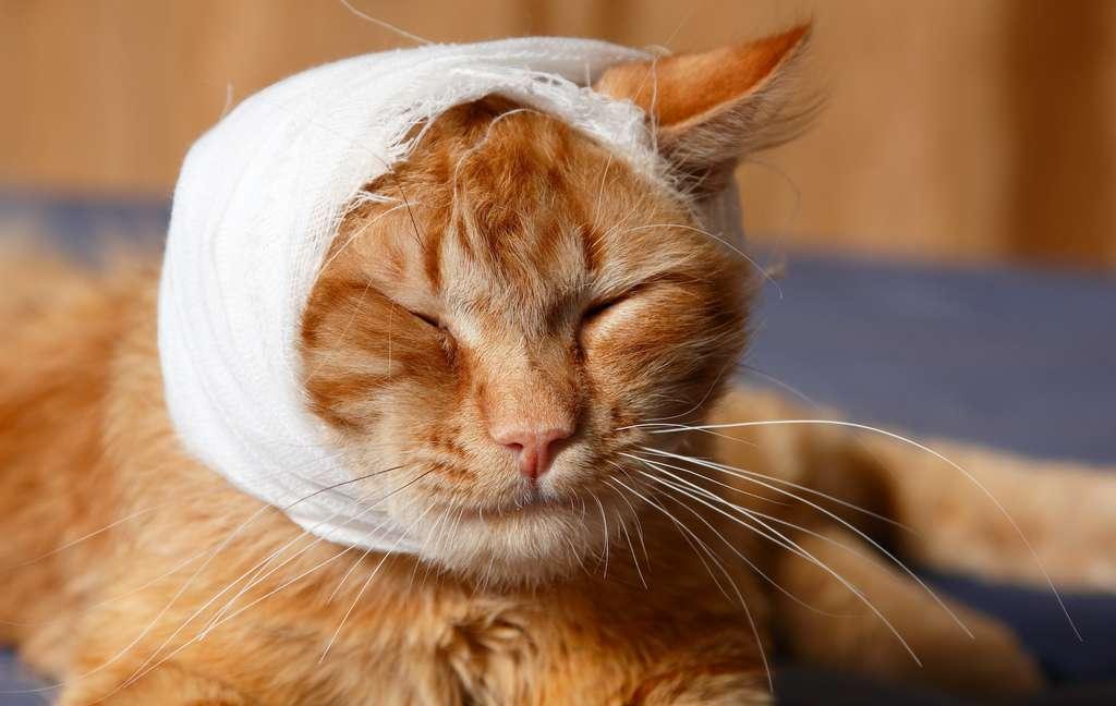 Si votre chien ou votre chat saigne abondamment, la solution la plus efficace est de compresser la plaie avec la paume de votre main ou en la bandant de manière serrée. © Khorzhevska, Adobe Stock