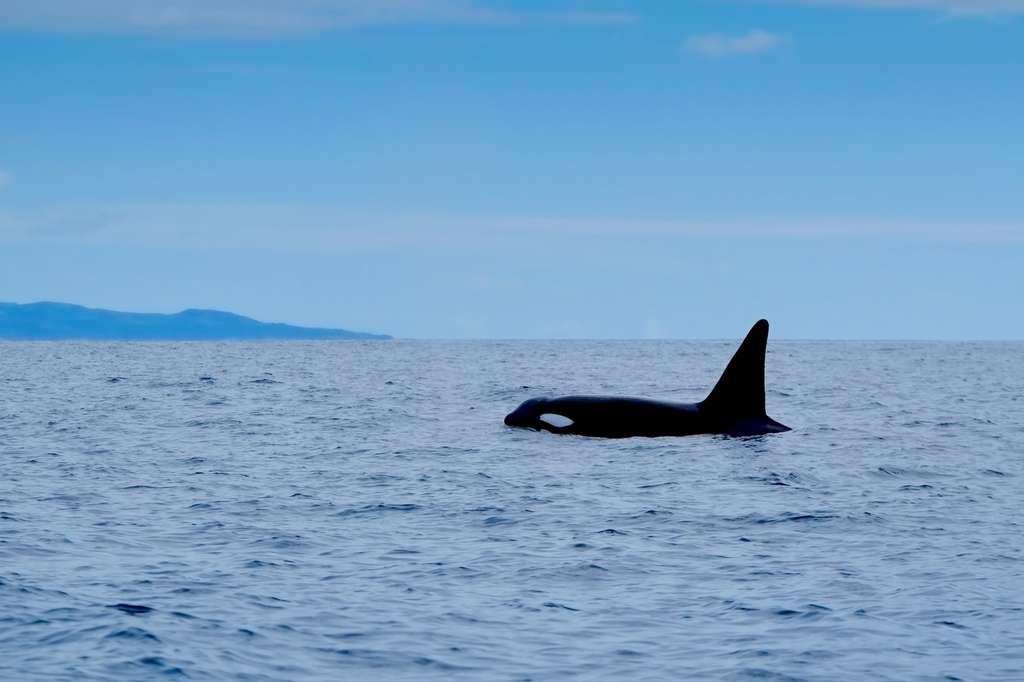 Les orques ont déserté les régions les plus polluées, notamment dans le détroit de Gilbraltar, et au large du Brésil, ainsi qu'autour du Royaume-Uni où il n'y en aurait plus que 10. © Charlotte, Fotolia