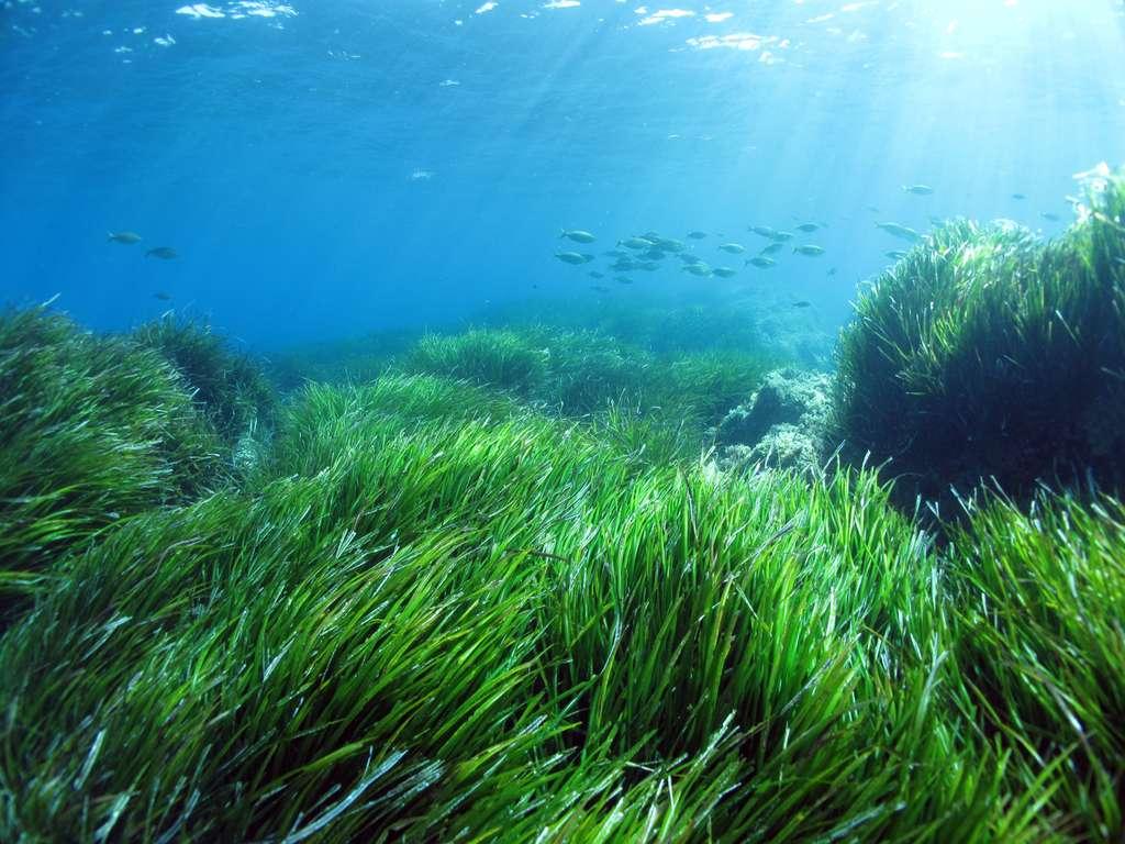 Figure 1.1. Un herbier de posidonie (Posidonia oceanica). Au loin, un banc de saupes (Sarpa salpa), un poisson herbivore consommateur des feuilles de posidonie. © Sandrine Ruitton, tous droits réservés, reproduction interdite